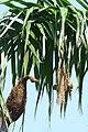 The Baya Weaver Making Their Shelter On The Tree At Govt.High School Nihhal Singh Wala Moga.jpg