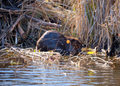 The Beaver - An emblem of Canada (48968413726).png