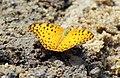 The common leopard-Phalanta phalantha from Wayanad WLS by Subhash Pulikkal 03.jpg