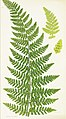 The ferns of Great Britain, and their allies the club-mosses, pepperworts, and horsetails (Pl. 10) (8515398131).jpg