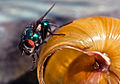The fly and the snail shell, Galicia.jpg