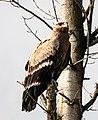 The steppe eagle (Aquila nipalensis) - 67.jpg