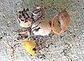 Theodoxus fluviatilis shells and of other freshwater gastropod molluscs.jpg