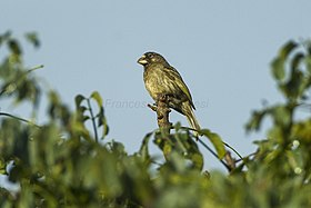 Thick-billed Seedeater.jpg