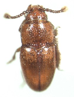 Thortus n.sp..jpg