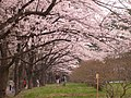 Thousand Cherry Trees on Mt. Akagi - panoramio.jpg