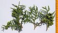 Thuja occidentalis foliage 3.JPG