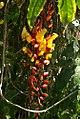 Thunbergia mysorensis 15zz.jpg