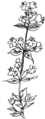 Thyme (PSF).png