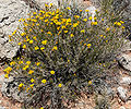 Thymophylla acerosa 5.jpg