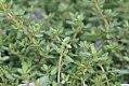 Thymus Wedgewood 0zz.jpg