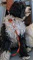 Tibetansk terrier (Fnuggi).jpg