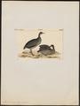 Tinamus canus - 1820-1860 - Print - Iconographia Zoologica - Special Collections University of Amsterdam - UBA01 IZ18900219.tif