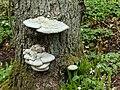 Tinder fungus on a dead pine in Gullmarsskogen 2.jpg