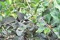 Todirostrum chrysocrotaphum guttatum in Sacha Lodge, Ecuador.jpg