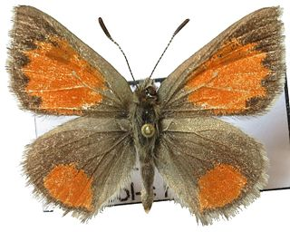 <i>Tomares callimachus</i> species of insect