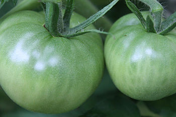 English: Tomatoes found in the stage before ri...
