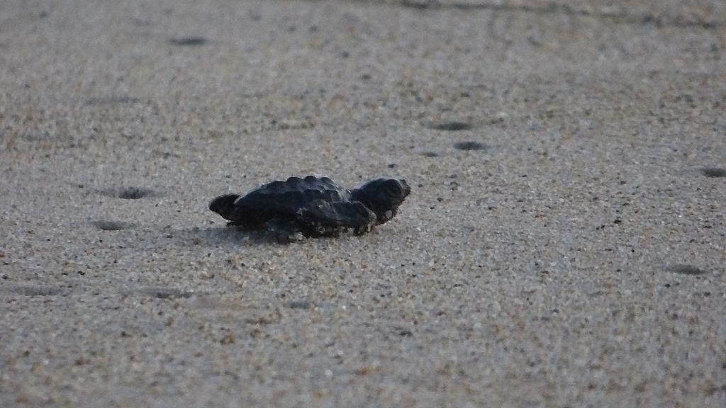 Tortuga Golfina recién nacida en Playa Carmelia