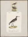 Totanus ocrophus - 1700-1880 - Print - Iconographia Zoologica - Special Collections University of Amsterdam - UBA01 IZ17400097.tif