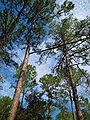 Towering Pinus elliottii trees.jpg