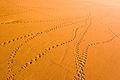 Tracks on the dune (3687292727).jpg