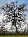 Tree - Scandiano (RE) Italy - December 12, 2010 - panoramio.jpg