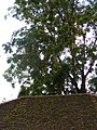 Tree with many seeds - Thailand.JPG