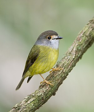 Pale-yellow robin - Subspecies capito