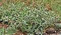 Trichodesma indicum in Hyderabad, AP W IMG 7917.jpg