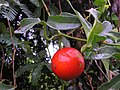 Trichosanthes bracteata.jpg