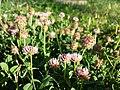 Trifolium fragiferum (subsp. fragiferum) sl42.jpg