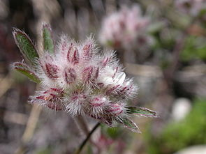 Stein-Klee (Trifolium saxatile)
