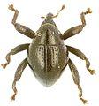 Trigonopterus parumsquamosus holotype - ZooKeys-280-001-g059.jpg