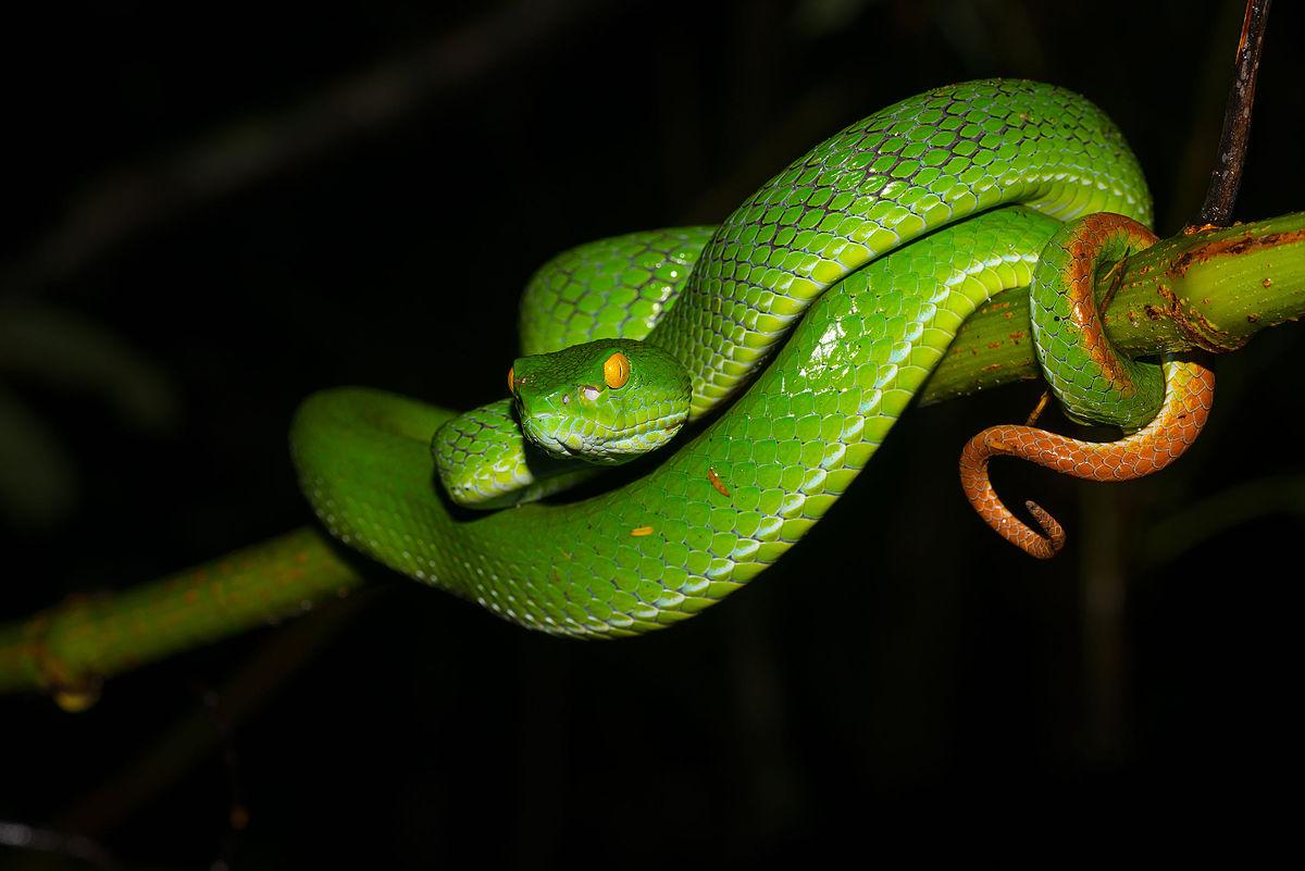 Trimeresurus macrops - Wikipedia