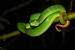 Trimeresurus macrops, Large-eyed pit viper.jpg
