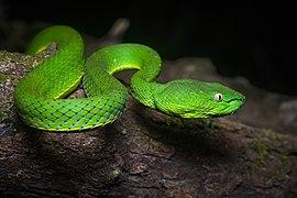 Trimeresurus vogeli, Vogel's pit viper - Khao Soi Dao Wildlife Sanctuary (46361404605).jpg