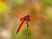 Trithemis aurora male 2 by kadavoor
