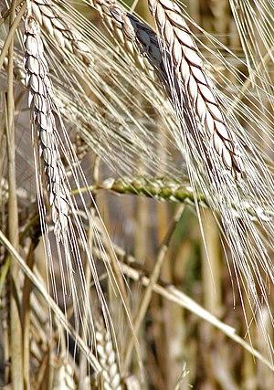 Khorasan wheat - Image: Triticum turgidum 2