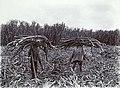 Tropenmuseum Royal Tropical Institute Objectnumber 60006414 Oogst van suikerriet op de plantage R.jpg