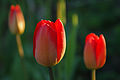 Tulips (5704726114).jpg