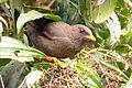 Turdus fuscater (Mirla patiamarilla) (15462640482).jpg