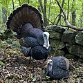 Turkey decoy.jpg