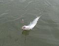 Twaitshad is a good sportfish.jpg