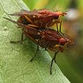 Two Flies (Tetanocera elata) Mating.jpg