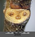 Ulmus glabra sl5.jpg