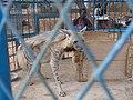 Une hyène blanche au musée national du Niger.jpg