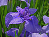 Unidentified Iris Chanticleer Blue 3264px.jpg