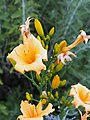 Unknown Daylilies on West Slope S4 - 9293311349.jpg