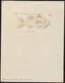Upeneus cyclostoma - 1798-1876 - Print - Iconographia Zoologica - Special Collections University of Amsterdam - UBA01 IZ13000334.tif