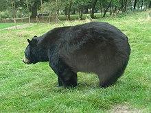 Ursus americanus.002 - Woburn Safari Park.JPG